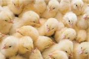Суточни цыплята бройлера (Польша) во Львове!