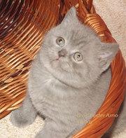 шотландский котенок голубой