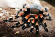 Продам пауки брахипельма смити