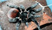 Продам пауки  Brachypelma vagans