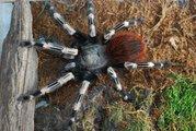 Продам пауки Nhandu chromatus