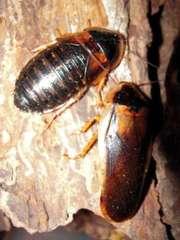 Аргентинского таракана (Blaptika dubia)