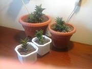хавортия,  эчеверия,  лиана-2 вида,  мраморная и простая