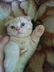 Шикарные кремовые котята шотландской вислоухой!
