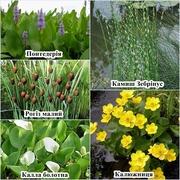 Водні та прибережні рослини (аїр,  рогіз,  камиш,  частуха,  ірис...)