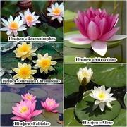 Німфеї,  водяні лілії,  латаття та інші водні рослини