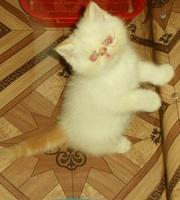 Частные объявления по продаже котят в г.львов частные объявления о продаже загородной недвижимости в гдове