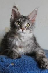 Кошенята мейн-кун з розплідника Handy Dandy