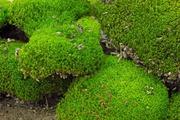 Купим мох лесной (кочковый)