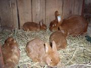 Продаю породистих кролів