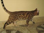 Бенгальские   котята (пятнистые леопардики)
